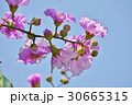 バナバ、オオバナサルスベリ(Banaba, Lagerstroemia speciosa) 30665315