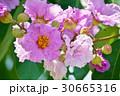 バナバ、オオバナサルスベリ(Banaba, Lagerstroemia speciosa) 30665316