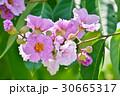 バナバ、オオバナサルスベリ(Banaba, Lagerstroemia speciosa) 30665317