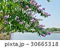 バナバ、オオバナサルスベリ(Banaba, Lagerstroemia speciosa) 30665318