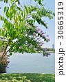 バナバ、オオバナサルスベリ(Banaba, Lagerstroemia speciosa) 30665319