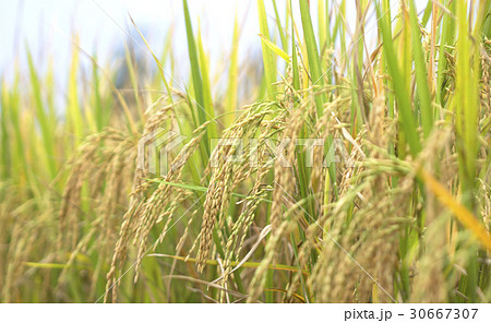 Rice fields natural foods 30667307