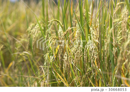 Rice fields natural foods 30668053