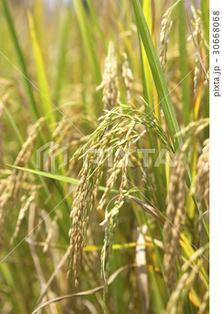 Rice fields natural foods 30668068