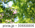 枝 花 サクラの写真 30668806