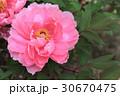 牡丹の花(八千代椿) 30670475