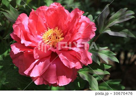 牡丹の花(百花撰) 30670476