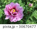 牡丹の花(長寿楽) 30670477