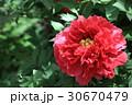 牡丹の花(花王) 30670479