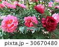 牡丹の花(越の舞姫) 30670480