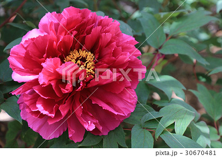 牡丹の花(新国色) 30670481