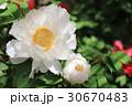 牡丹の花(白王獅子) 30670483