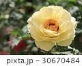 牡丹の花(黄冠) 30670484