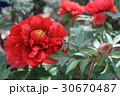 牡丹の花(平成紅) 30670487