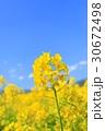 春 青空 菜の花の写真 30672498