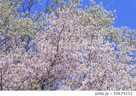 葉桜 30674231