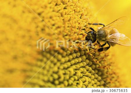 honeybee rested on a sun flower 30675635