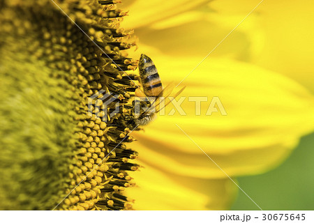 honeybee rested on a sun flower 30675645