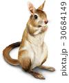 トビウサギ イラスト 30684149