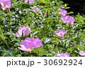 花 ハマナス 植物の写真 30692924