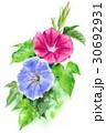 朝顔 花 植物のイラスト 30692931