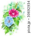 朝顔 花 植物のイラスト 30692934