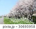 桜花吹雪 30693958
