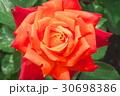 バラの花のクローズアップ 30698386