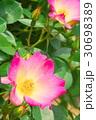 バラの花のクローズアップ 30698389