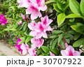ツツジの花 30707922