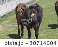 牧場のウシ 30714004