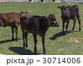 牛 和牛 動物の写真 30714006