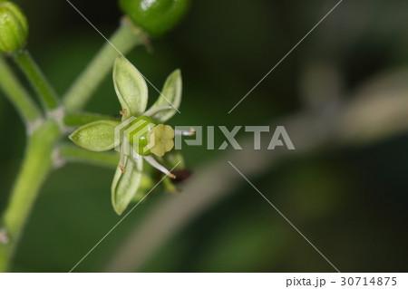 自然 植物 ホワイトサポーテ、中米原産のフルーツの花です。四月の石垣島で咲いています 30714875