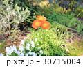 ポピー オレンジ色 花びらの写真 30715004