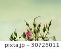 薔薇の花とトンボ 30726011