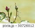 薔薇の花とトンボ 30726012