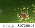 薔薇の花とトンボ 30726014
