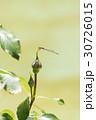 薔薇の花とトンボ 30726015