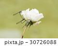 薔薇とトンボ 30726088