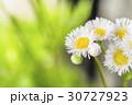 ヒメジョオン 30727923