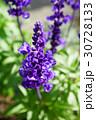 青紫が美しいブルーサルビア 30728133