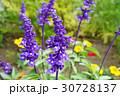 花 ブルーサルビア 青紫の写真 30728137