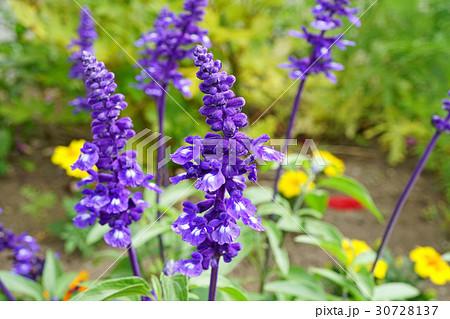 青紫が美しいブルーサルビア 30728137