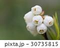 ブルーベリー 花 フルーツの写真 30735815