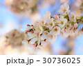 桜 30736025