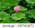 蓮 花 葉の写真 30741871