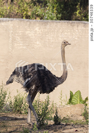Image of an ostrich on nature background. 30746339