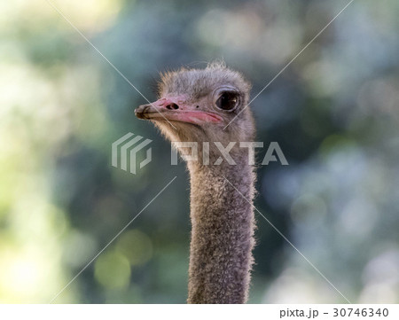 Image of an ostrich head on nature background. 30746340