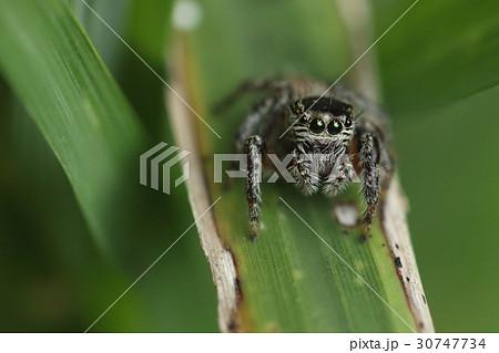生き物 蜘蛛 ミカヅキハエトリ、草原に住むハエトリグモ。石垣、西表、宮古の各島に分布しているようです 30747734