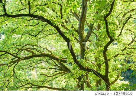 新緑の樹木 30749610